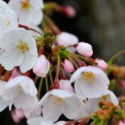 会染支所 桜