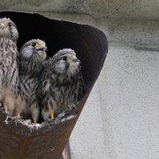 チョウゲンボウ 雛3兄弟