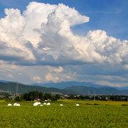 松川村 収穫目前