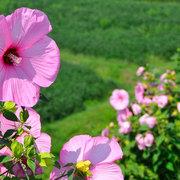池田町 芙蓉の花