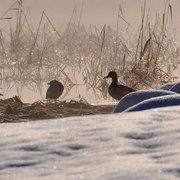 大町市 中綱湖 早朝の渡り鳥