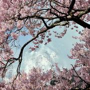 白馬村神城 満開の桜と残雪