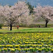 松川村 桜と花壇の競演