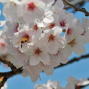大町市常盤 乳川に咲く桜