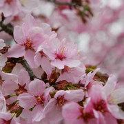 大町市 山岳博物館の桜