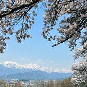 大町市から桜と北アルプスの競演