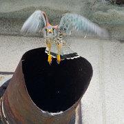松川村 チョウゲンボウの巣立ち