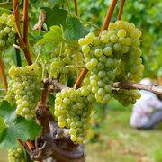 池田町会染ワイン用ブドウ収穫