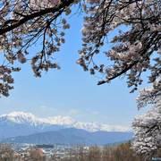大町市 桜と残雪の北アルプス