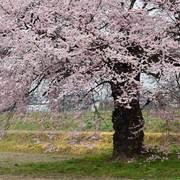 大町市常盤 田打ち桜
