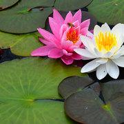 木崎湖の睡蓮花