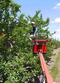 太田園 摘果作業最盛期です