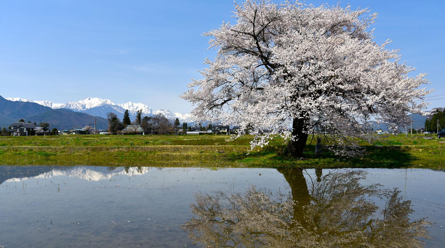 スライド45 大町市常盤 桜と残雪の北アルプス