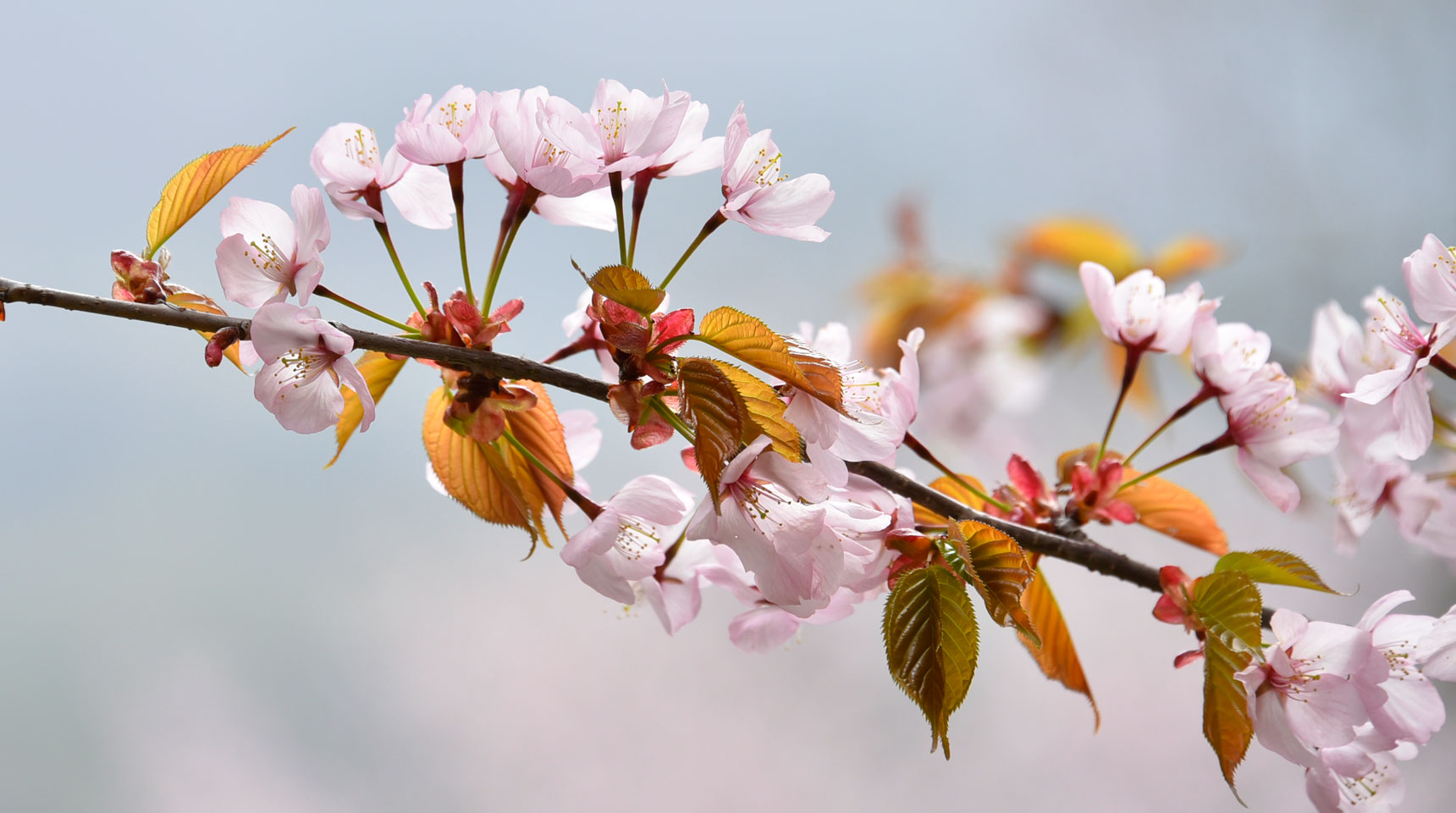 スライド46 中綱湖の桜