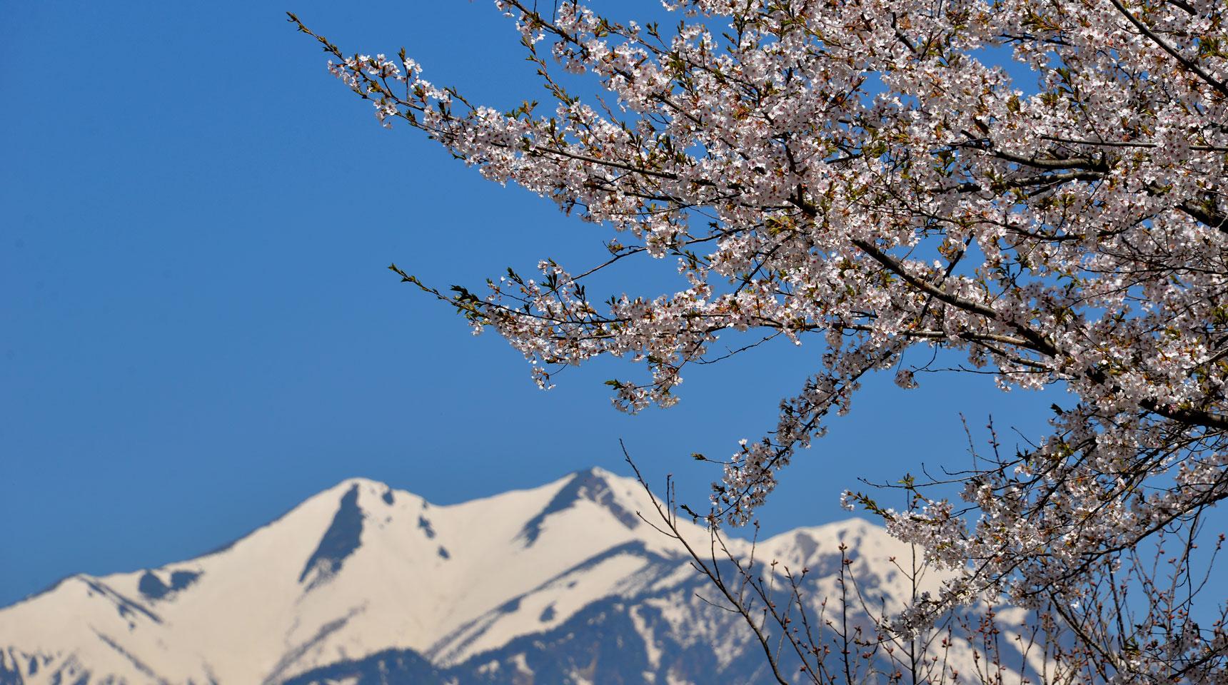 スライド44 大町市 爺ヶ岳残雪と桜