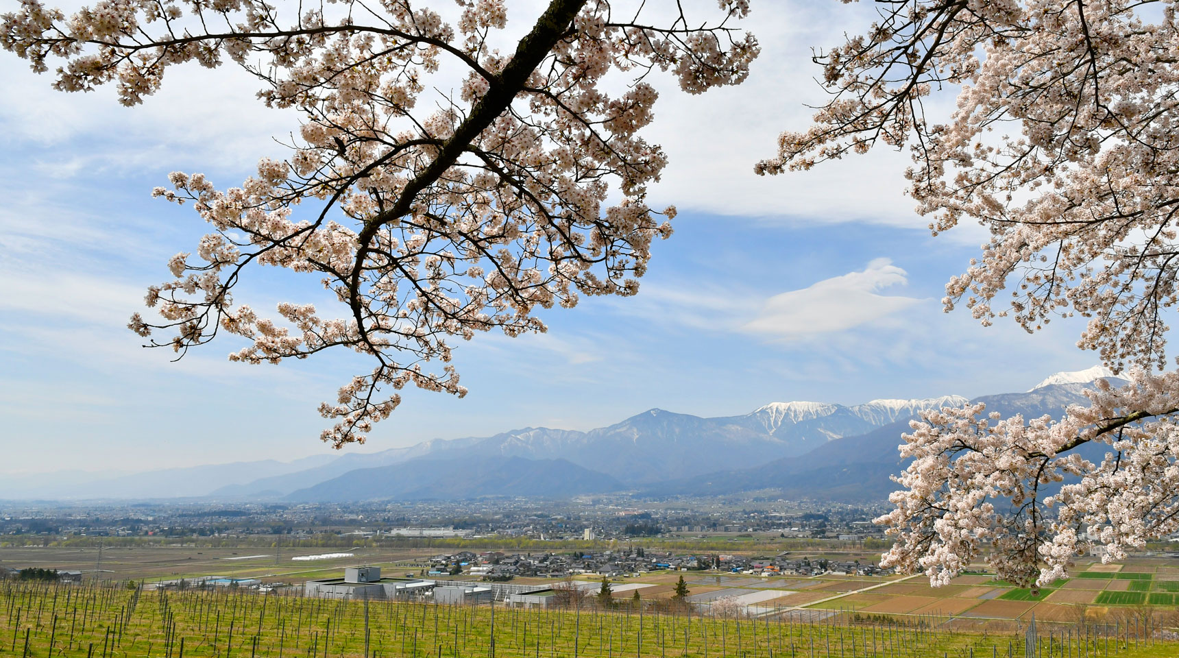 スライド94 池田町会染鵜山の桜