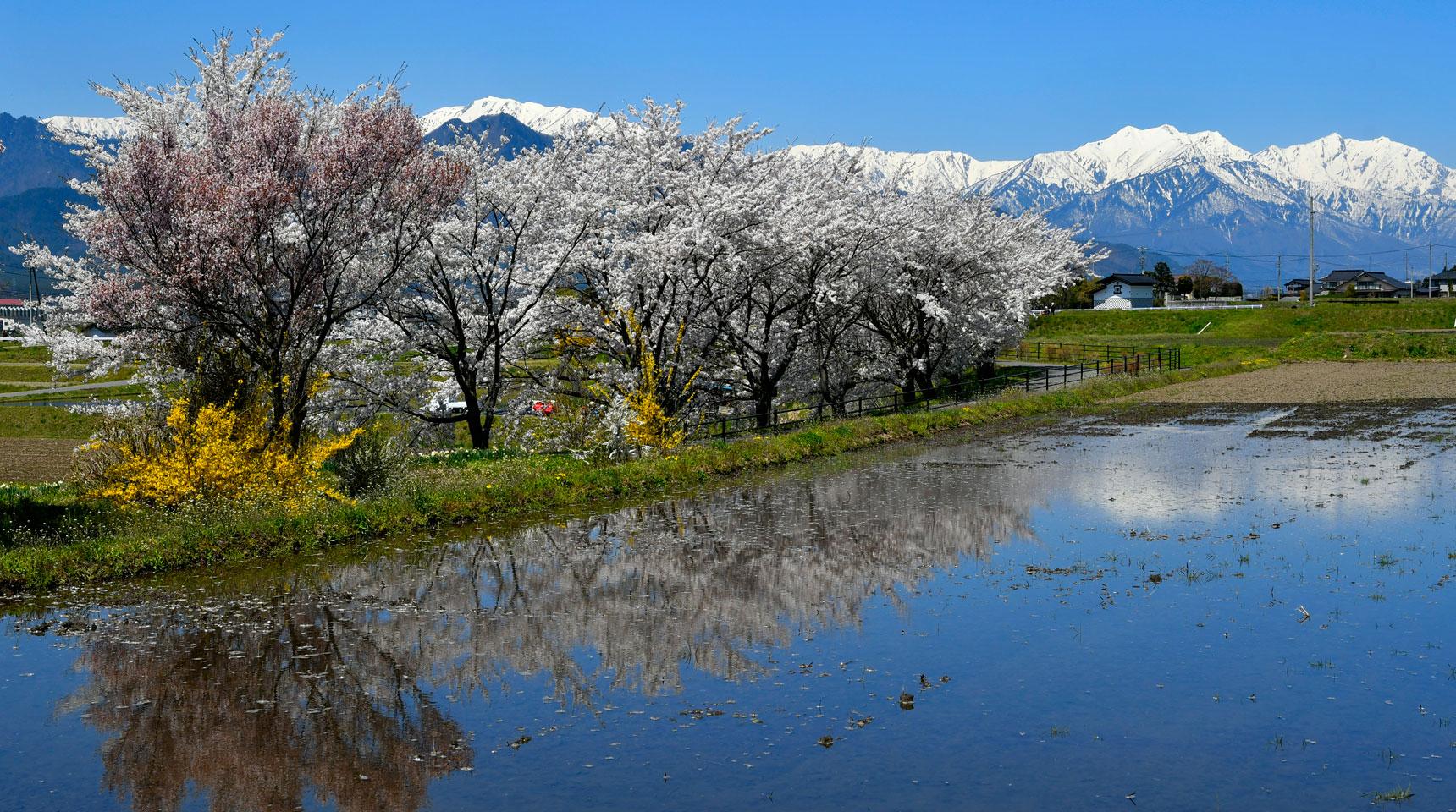スライド95 池田町堀之内の桜と北アルプス