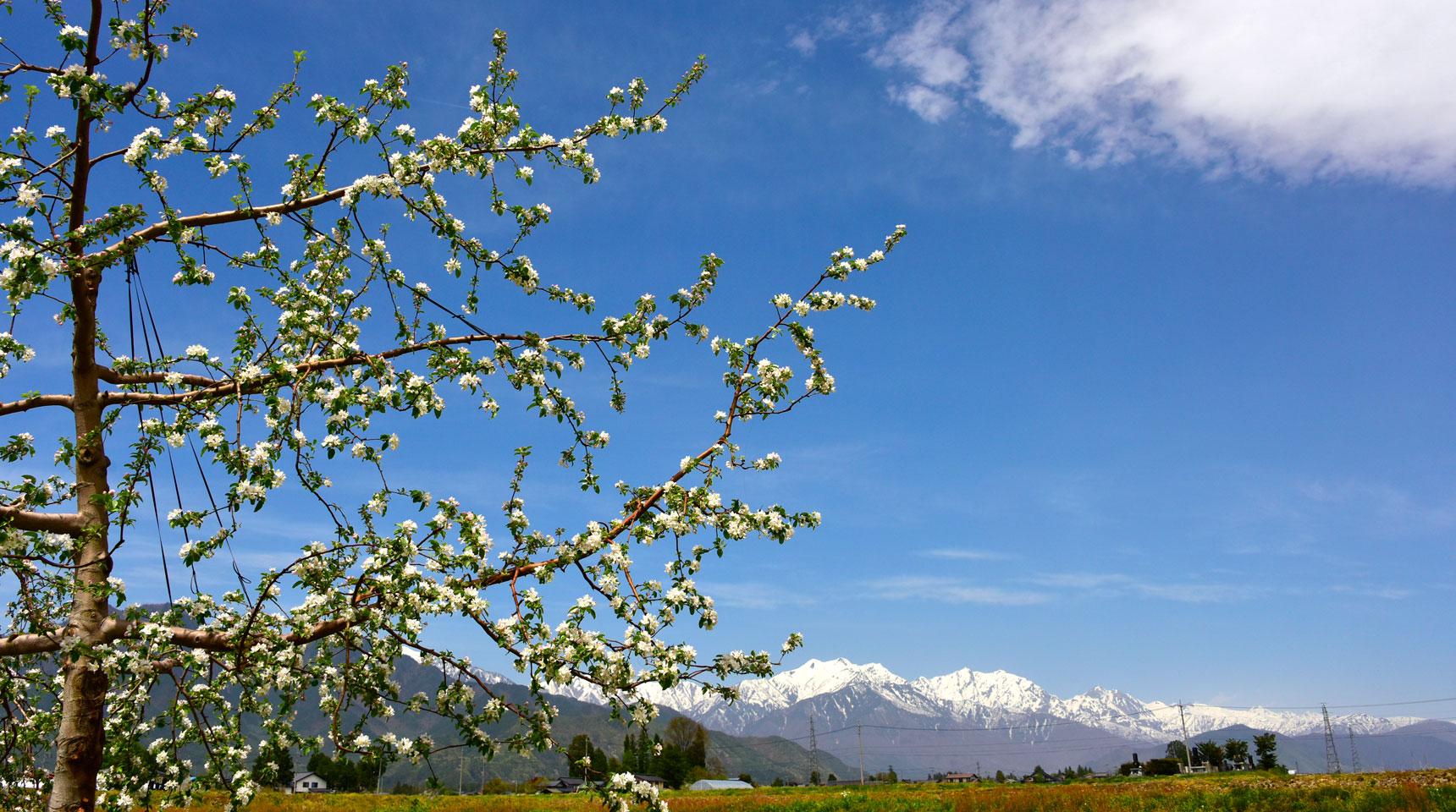 スライド100 大町市常盤 リンゴの花と北アルプス