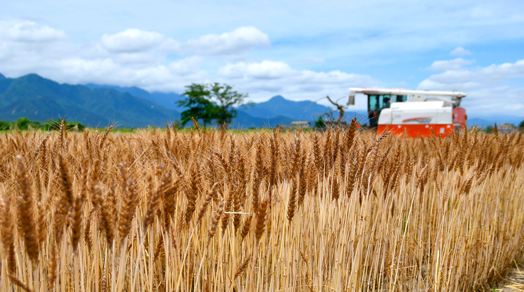 スライド110 麦刈取り時期 池田町