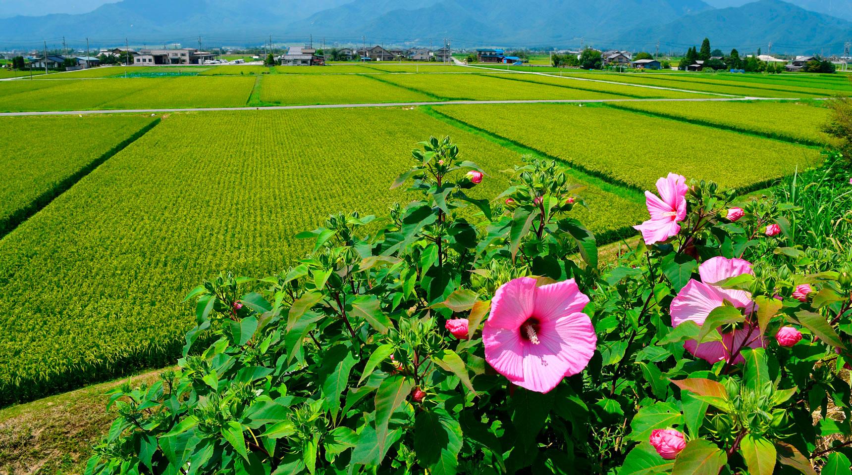 スライド113 池田町 芙蓉の花