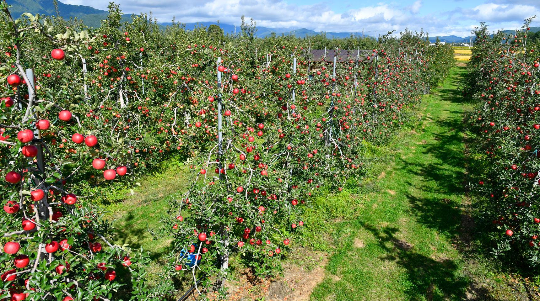スライド123 大町市常盤 リンゴ収穫時期