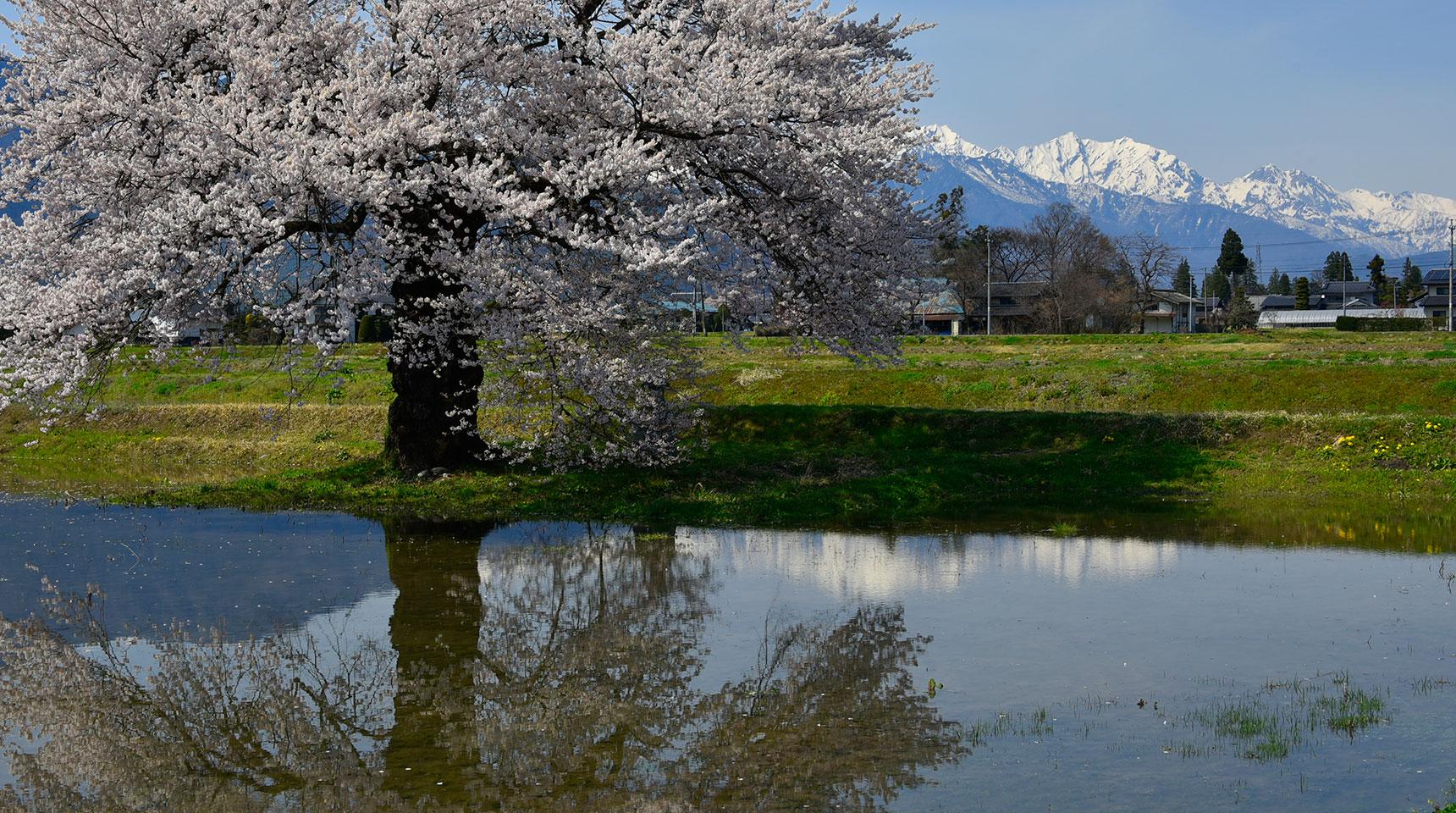 スライド149 須沼の一本桜と北アルプス