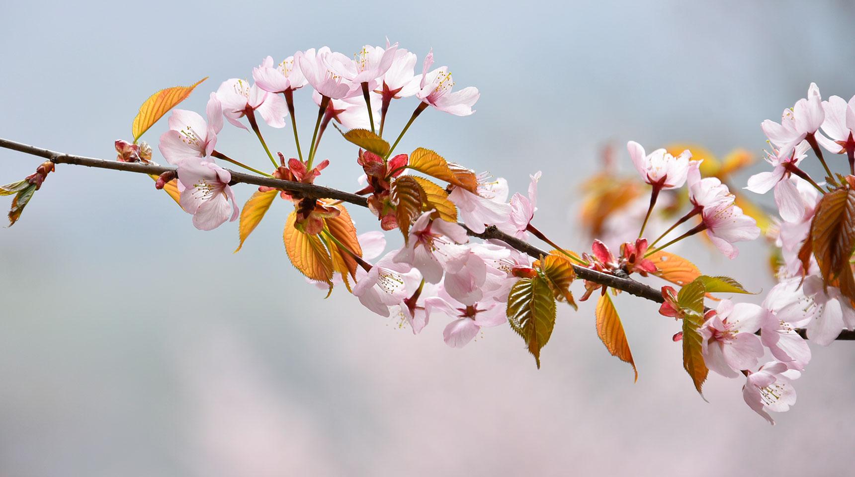 スライド150 中綱湖の桜