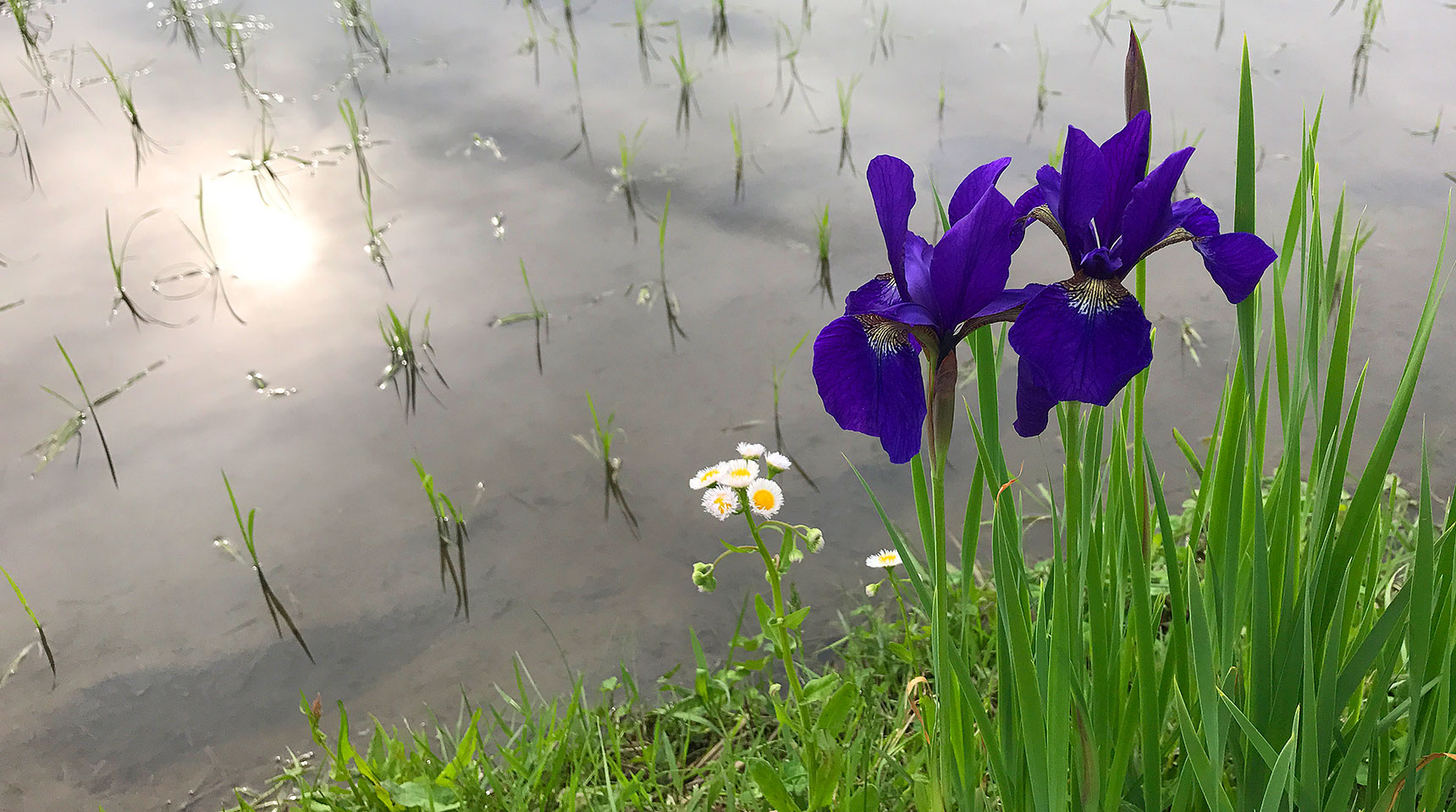 スライド155 菖蒲の花と水田