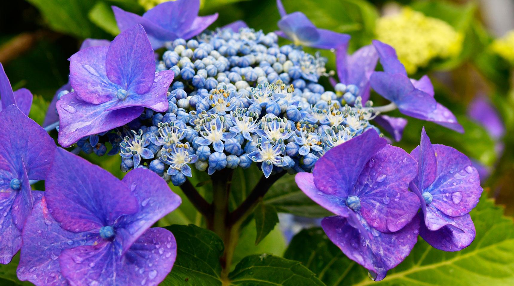 スライド170 額紫陽花