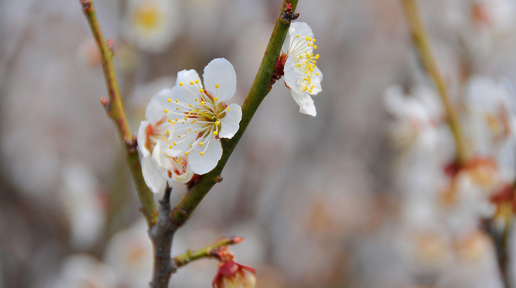 スライド 205 梅の開花早春の木崎湖畔